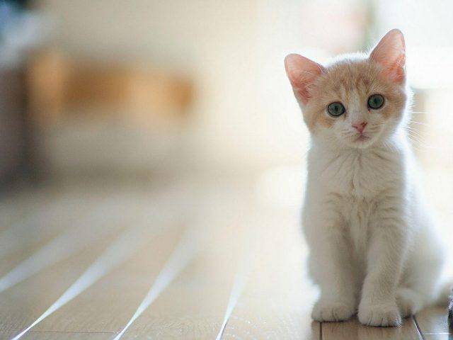 Белая кошка котенок сидит на полу возле белой стены котенок