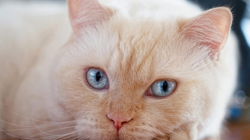 Белая кошка лежит на полу кошка обои скачать