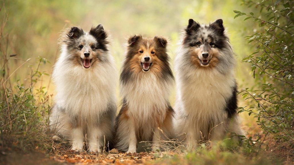 Собака домашнее животное шетландская овчарка собаки обои скачать