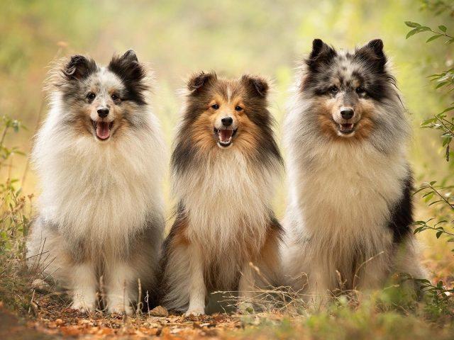 Собака домашнее животное шетландская овчарка собаки