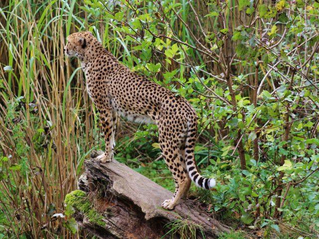 Леопард большая кошка пятнистый хищник