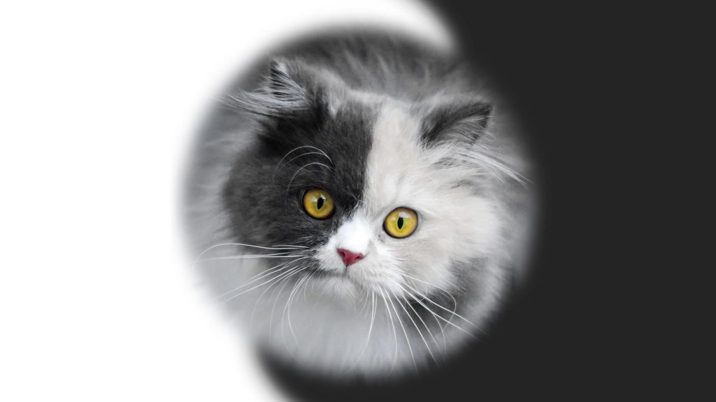 Желтые глаза черно белая кошка котенок кошка обои скачать