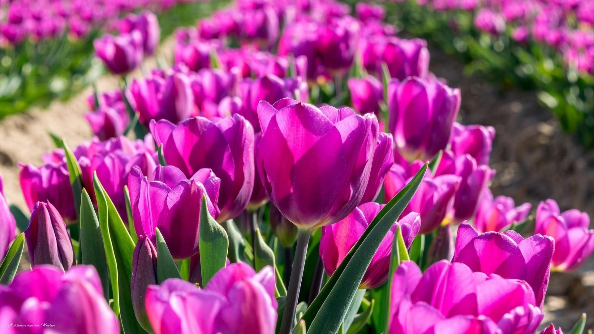 Темно-фиолетовые цветы тюльпана полевые цветы на синем фоне обои скачать