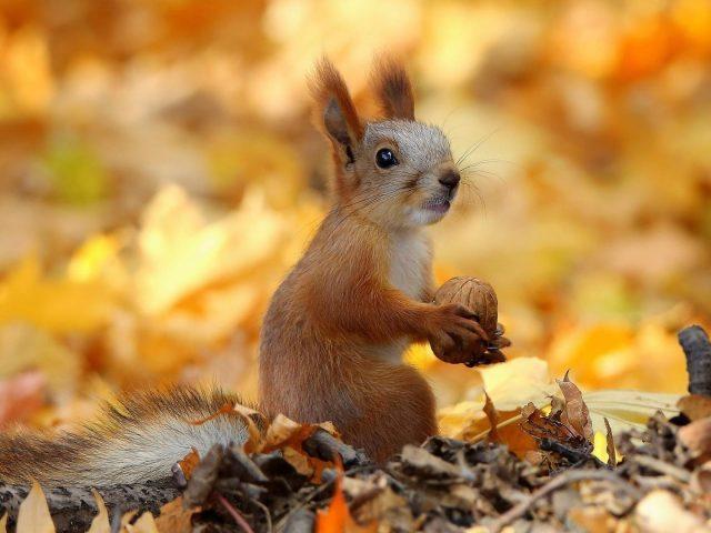 Белка сидит на сухих листьях и ест орехи животных