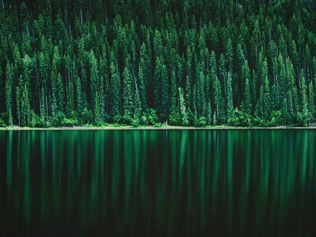 Зеленый сосновый лес