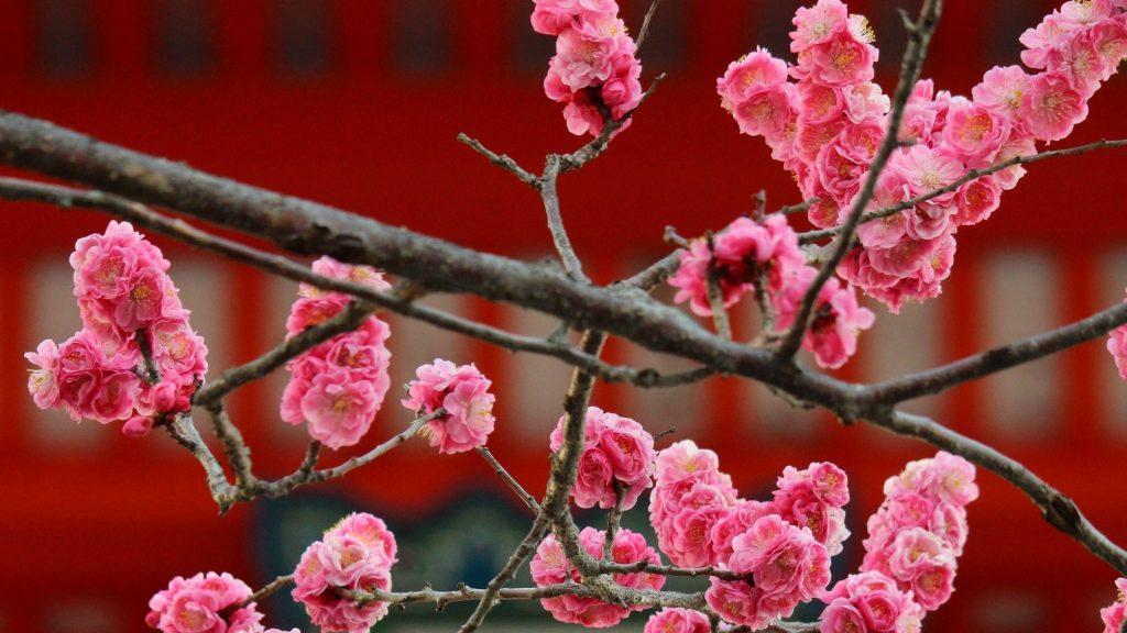 Цветы сакуры цветут цветы обои скачать