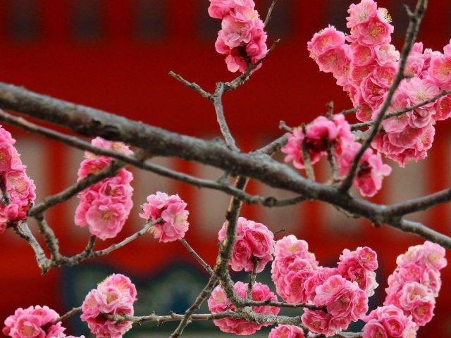 Цветы сакуры цветут цветы