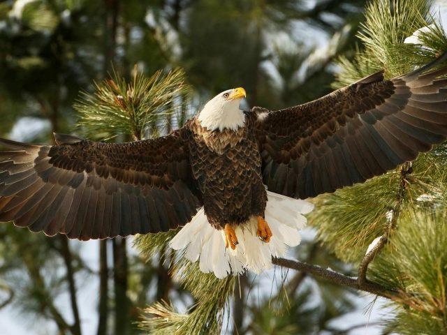 Бурый Орел взлетает с дерева животных