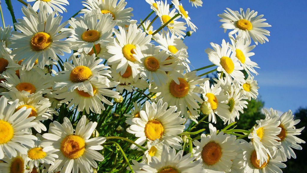 Маргаритки цветут под голубым небом цветы обои скачать