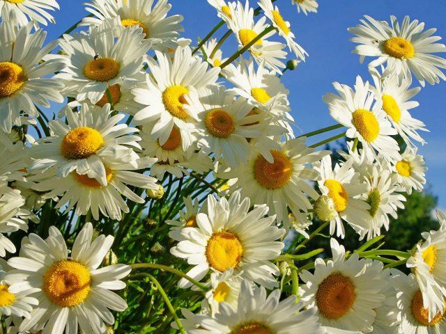 Маргаритки цветут под голубым небом цветы