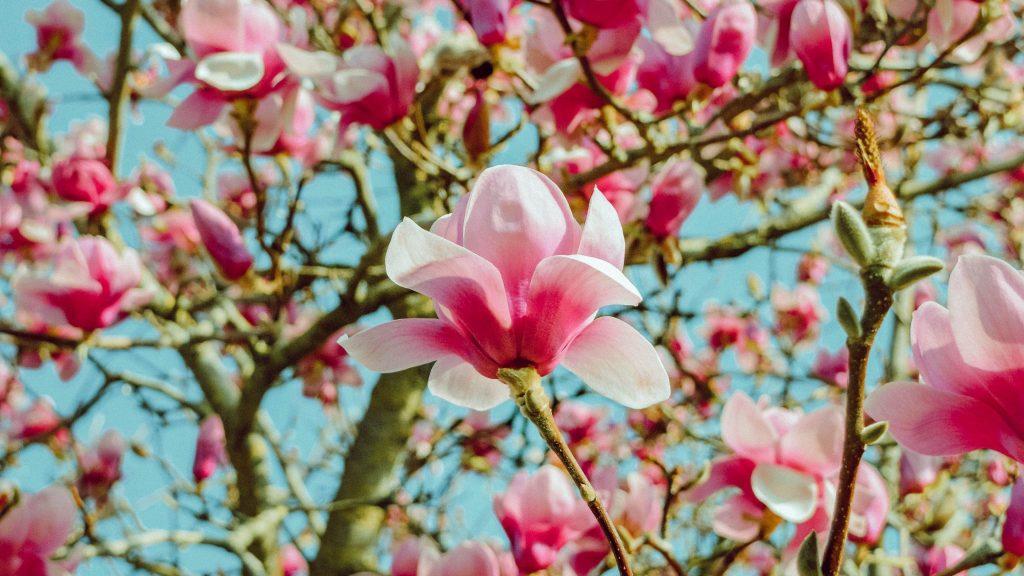 Цветы магнолии розовые цветочные цветы обои скачать