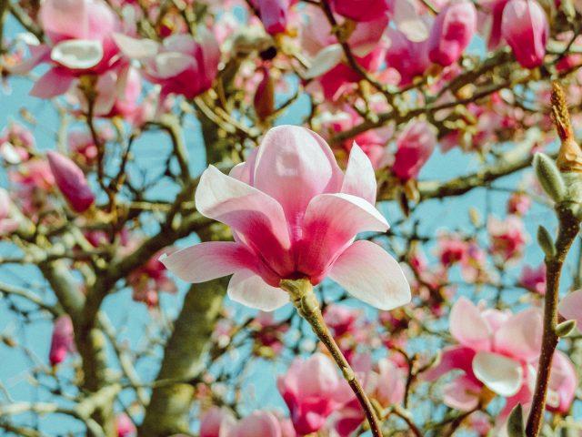 Цветы магнолии розовые цветочные цветы