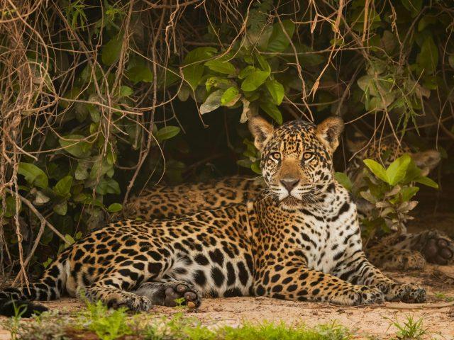 Ягуар сидит под зелеными листьями на песке и смотрит на животных