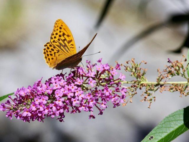 Желто-коричневые точки бабочка на фиолетовых цветах на бело-голубом фоне бабочка