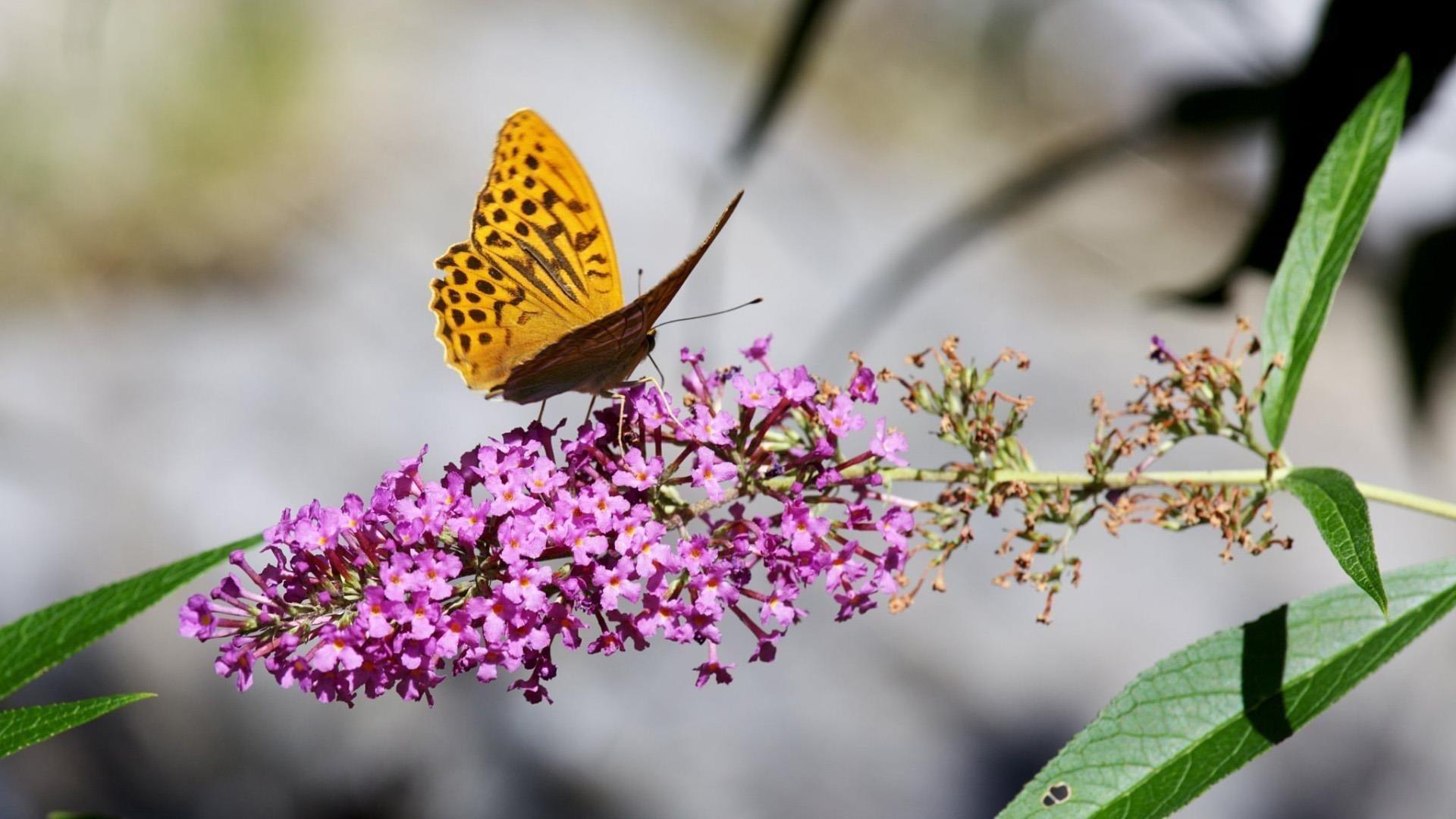 Желто-коричневые точки бабочка на фиолетовых цветах на бело-голубом фоне бабочка обои скачать