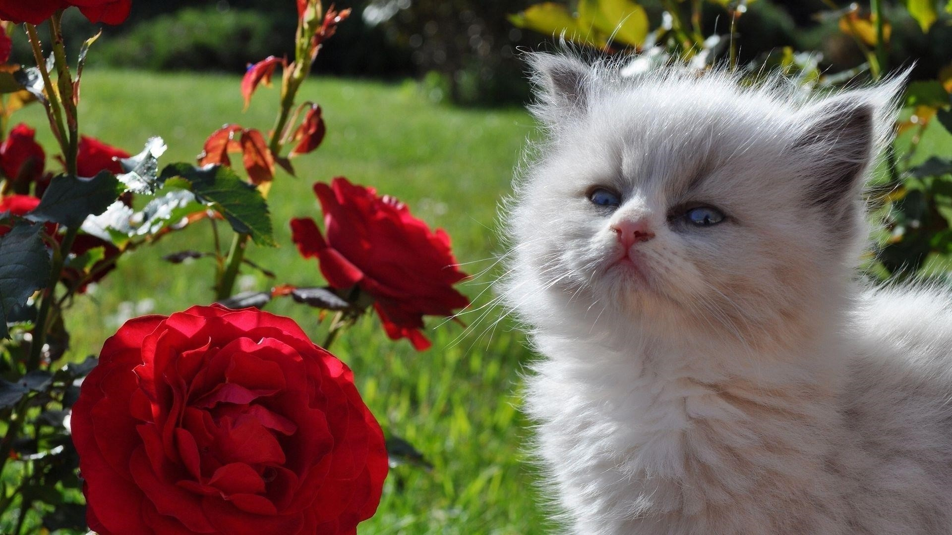 Голубоглазый белый пушистый котенок котенок стоит рядом с цветами красной розы котенок обои скачать