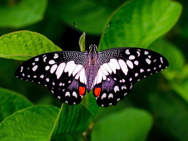 Черно белая бабочка на зеленом листе животные