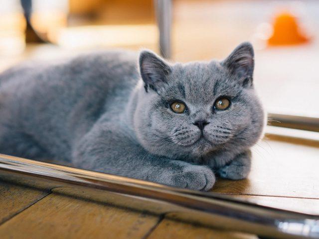 Желтые глаза темно-пепельная кошка на полу кошка