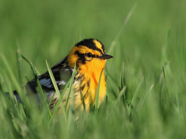 Желто черная пухлая птица стоит на зеленой траве в зеленом размытом фоне животных