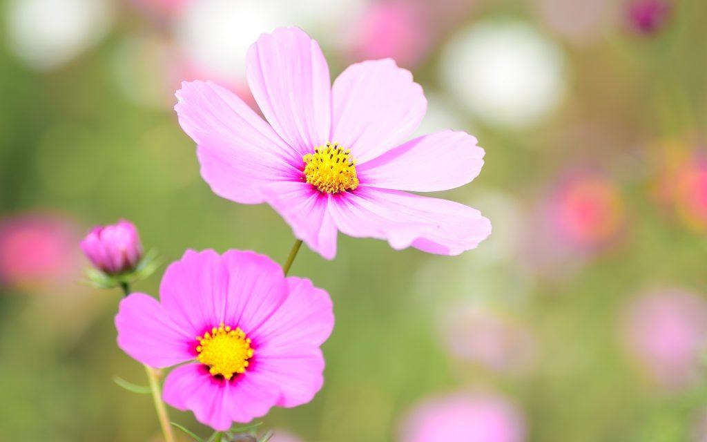 Космеи цветочные. обои скачать