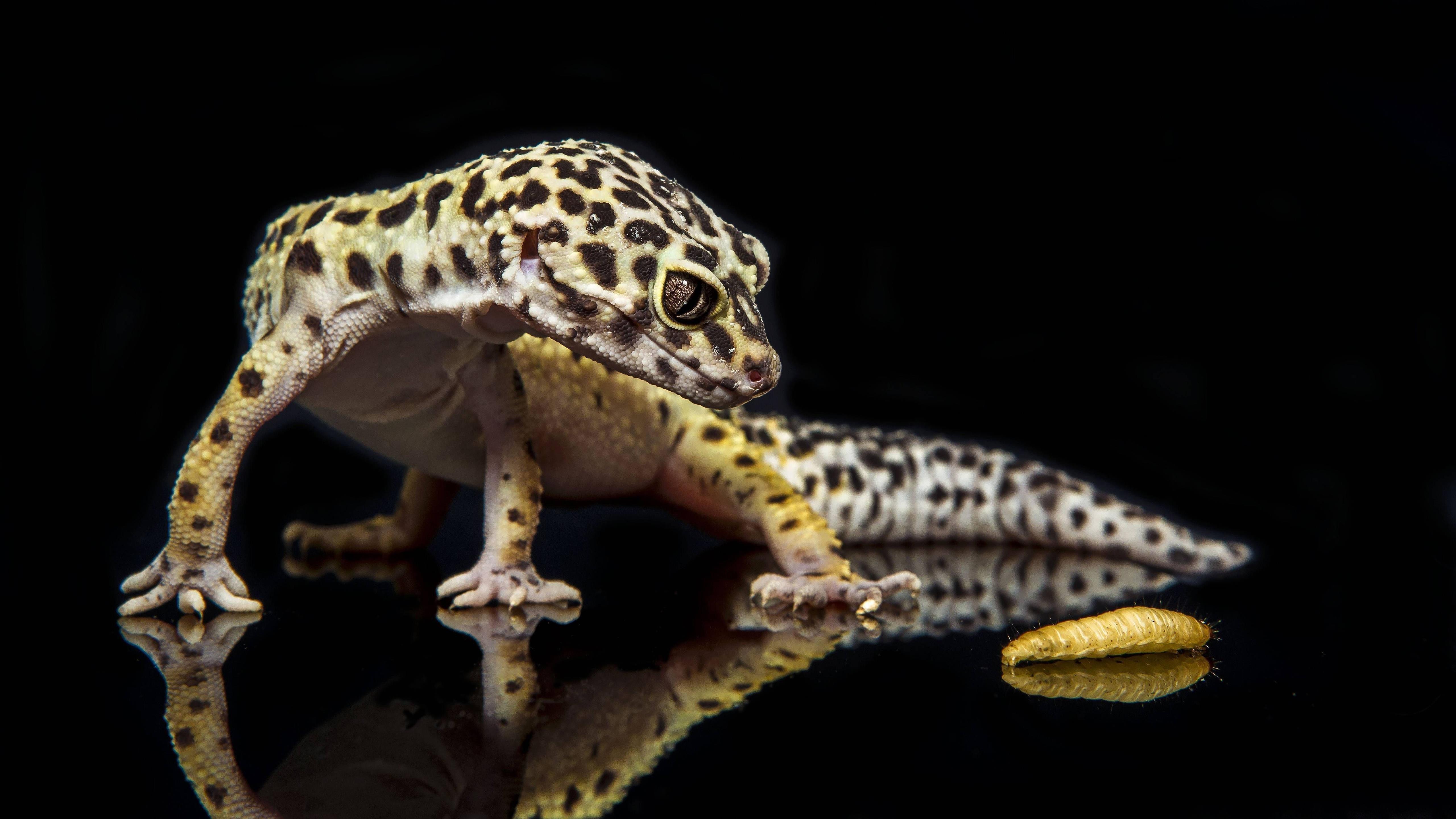 Леопардовый геккон обои скачать