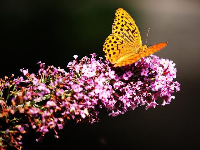 Бабочка весенний цветок