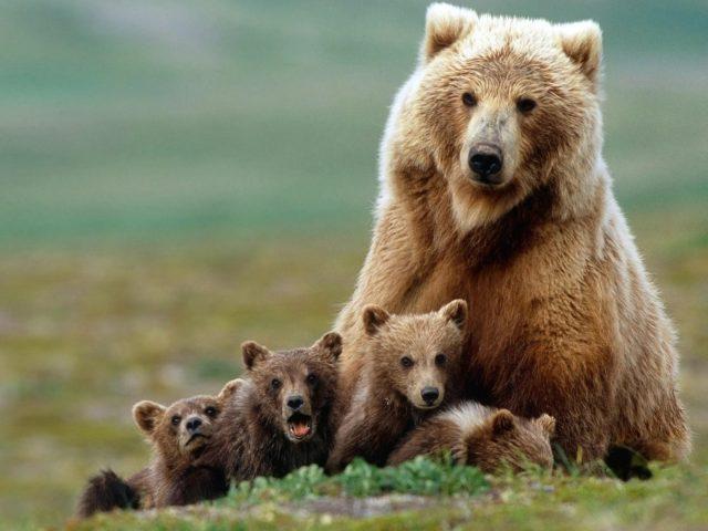 Гризли большой медведь и медвежата на зеленой траве в размытом фоне животных