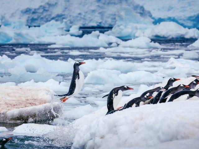 Белые черные пингвины на замерзшем водоеме животные