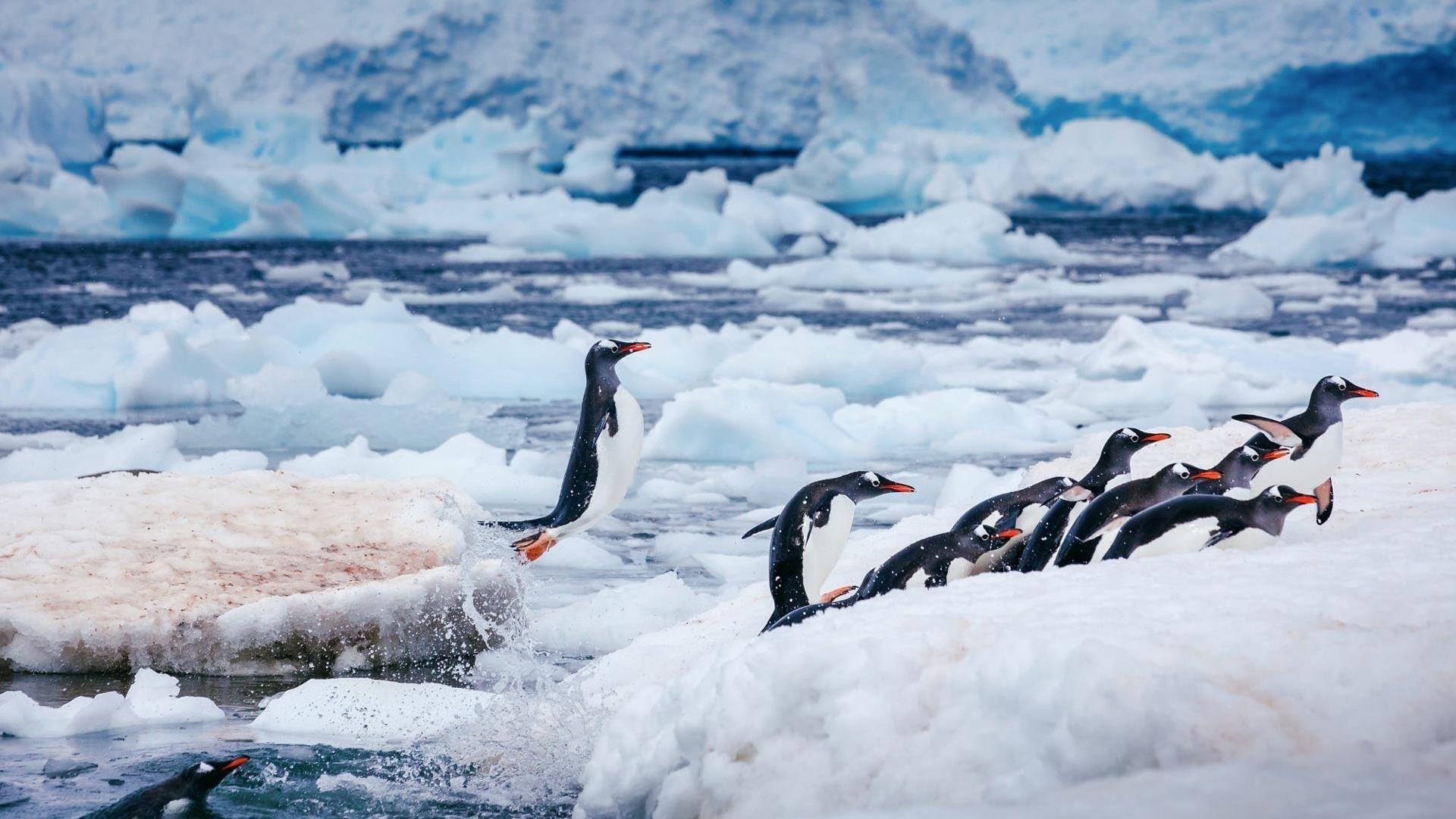 Белые черные пингвины на замерзшем водоеме животные обои скачать