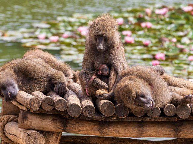 Животное бабуин