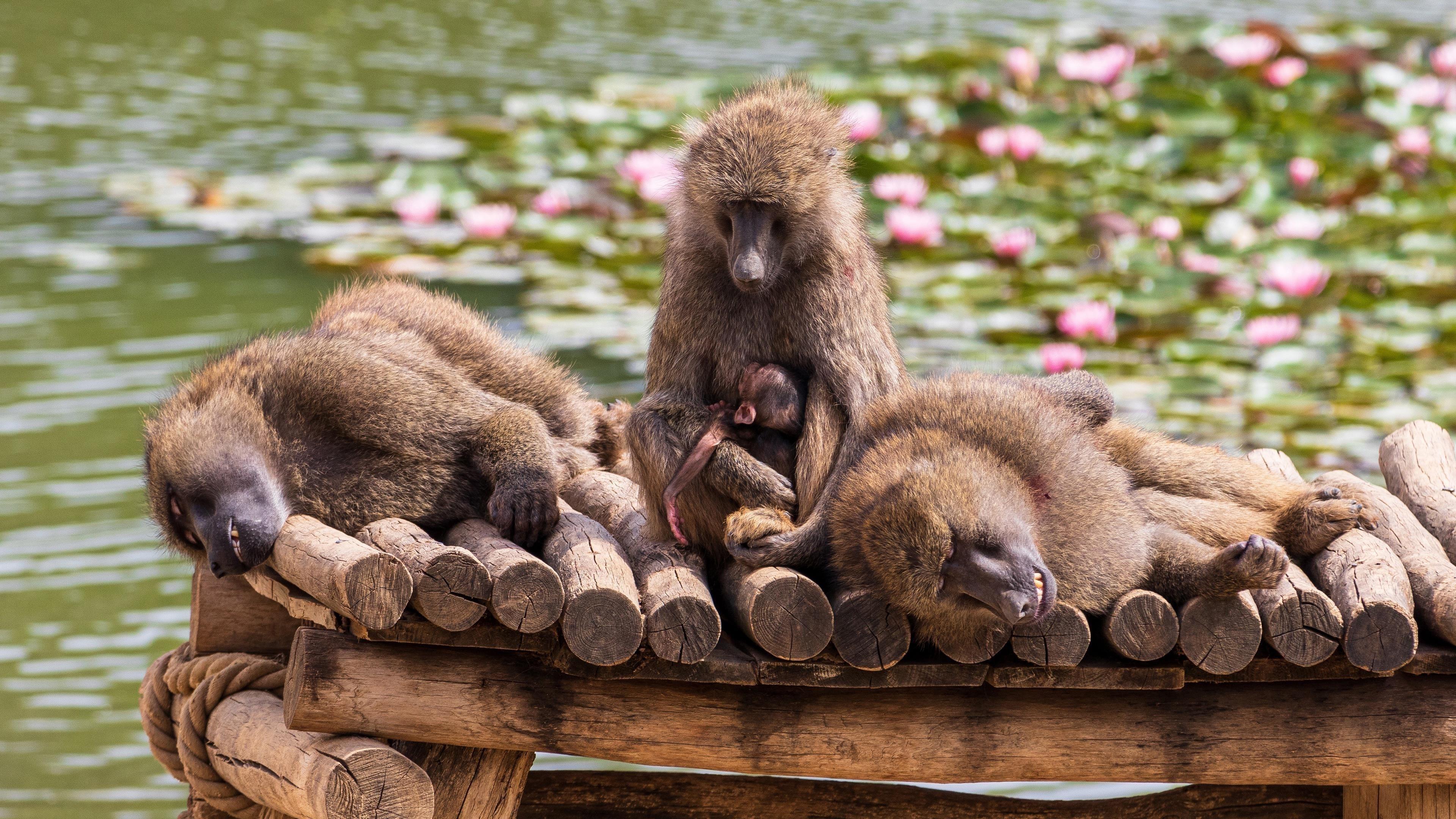 Животное бабуин обои скачать