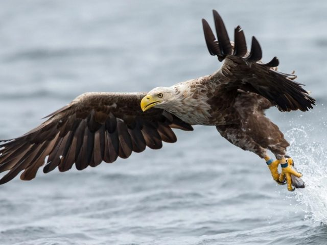 Белохвостый Орел взлетает из воды с рыбой в лапах животных