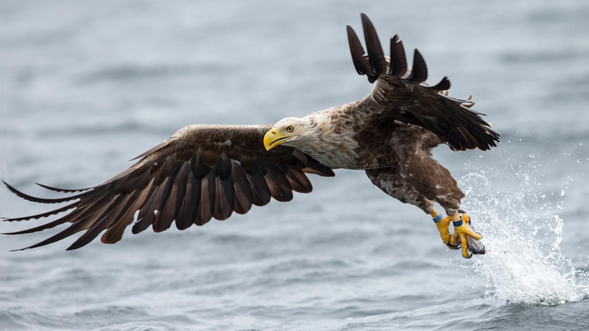 Белохвостый Орел взлетает из воды с рыбой в лапах животных обои скачать