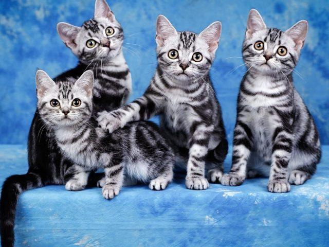 Четыре милых черно-белых котенка на небесно-голубом фоне животных