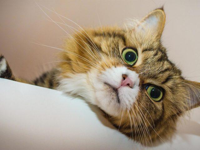 Желтые глаза карие белые кошки с пристальным взглядом кошки