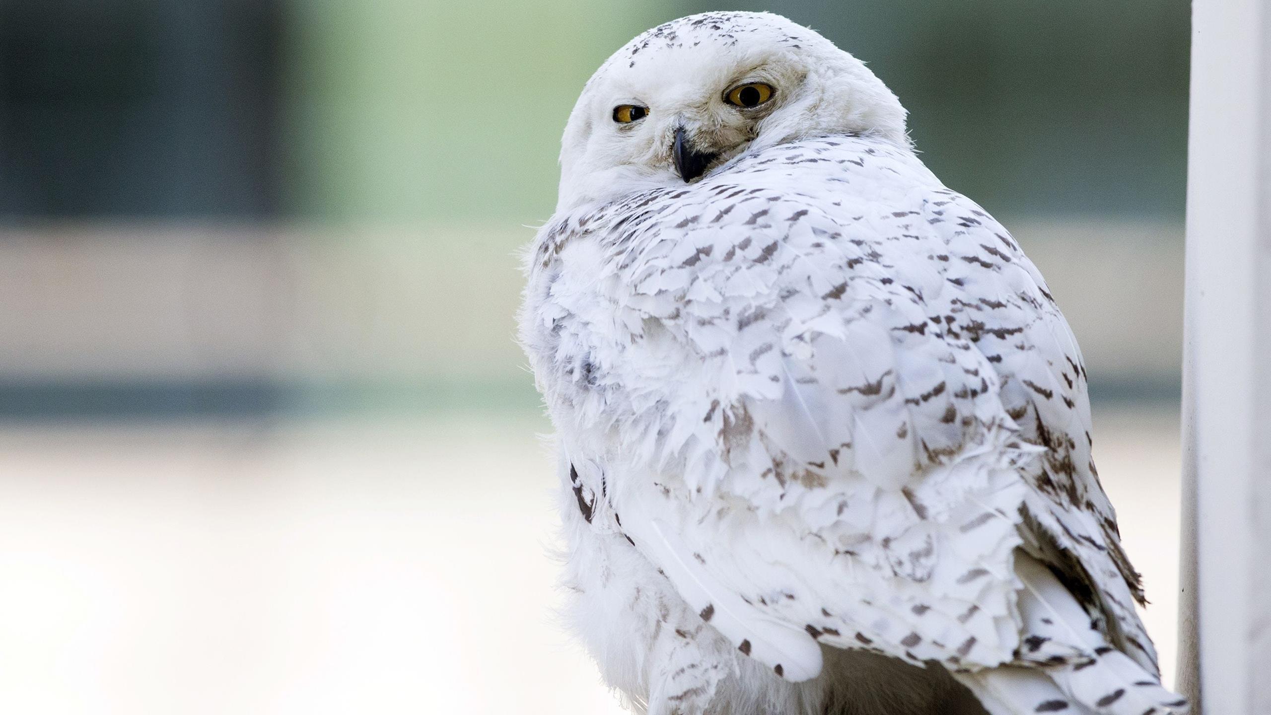 Снежная сова животные обои скачать