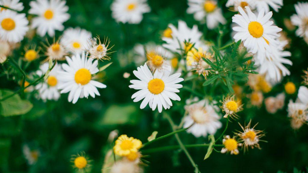 Белые цветы ромашки цветут цветы обои скачать