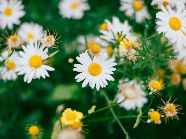 Белые цветы ромашки цветут цветы