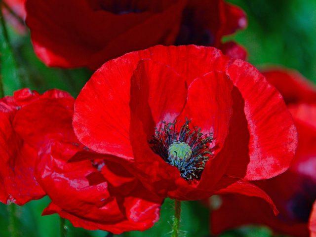Красные маки цветы цветочные на зеленом фоне цветы