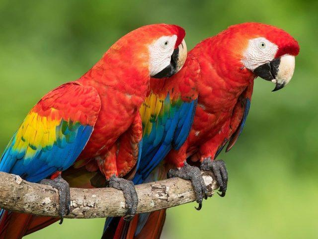 Два красных синих желтых попугая сидят на ветке дерева на зеленом фоне животных