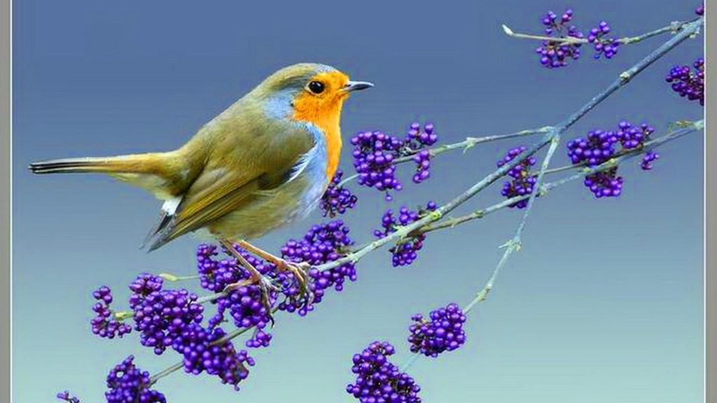 Желто коричневая птица стоит на фиолетовой ветке сливового дерева птицы обои скачать
