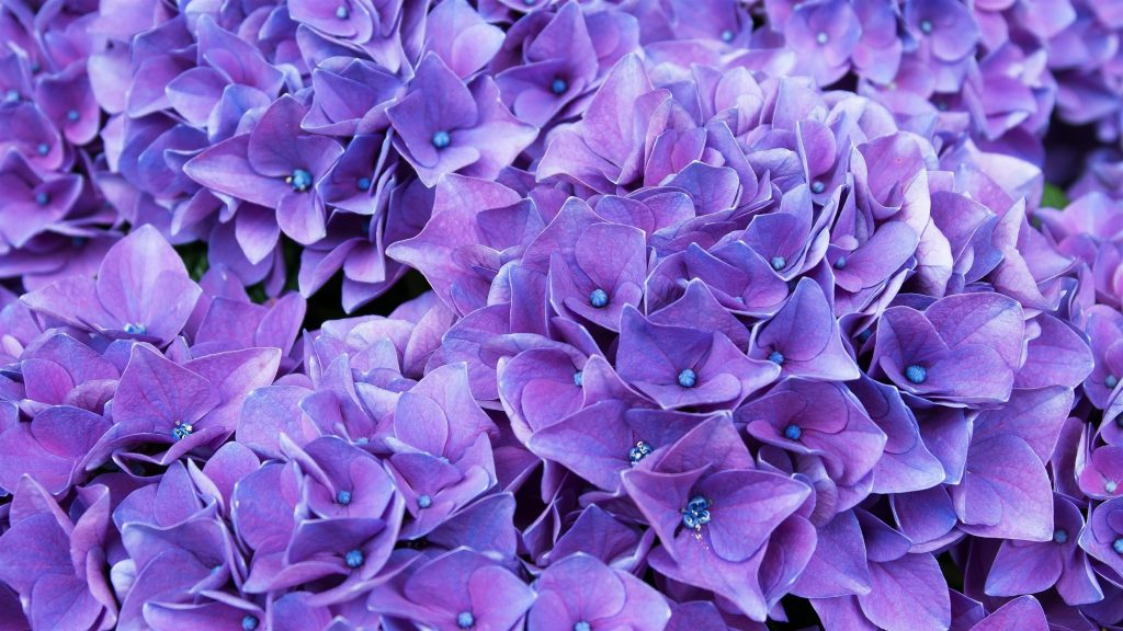 Фиолетово сиреневые цветы обои скачать