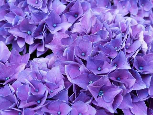 Фиолетово сиреневые цветы