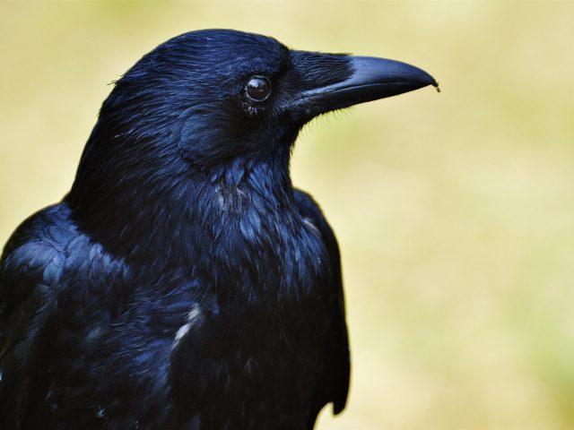 Ворона-животное