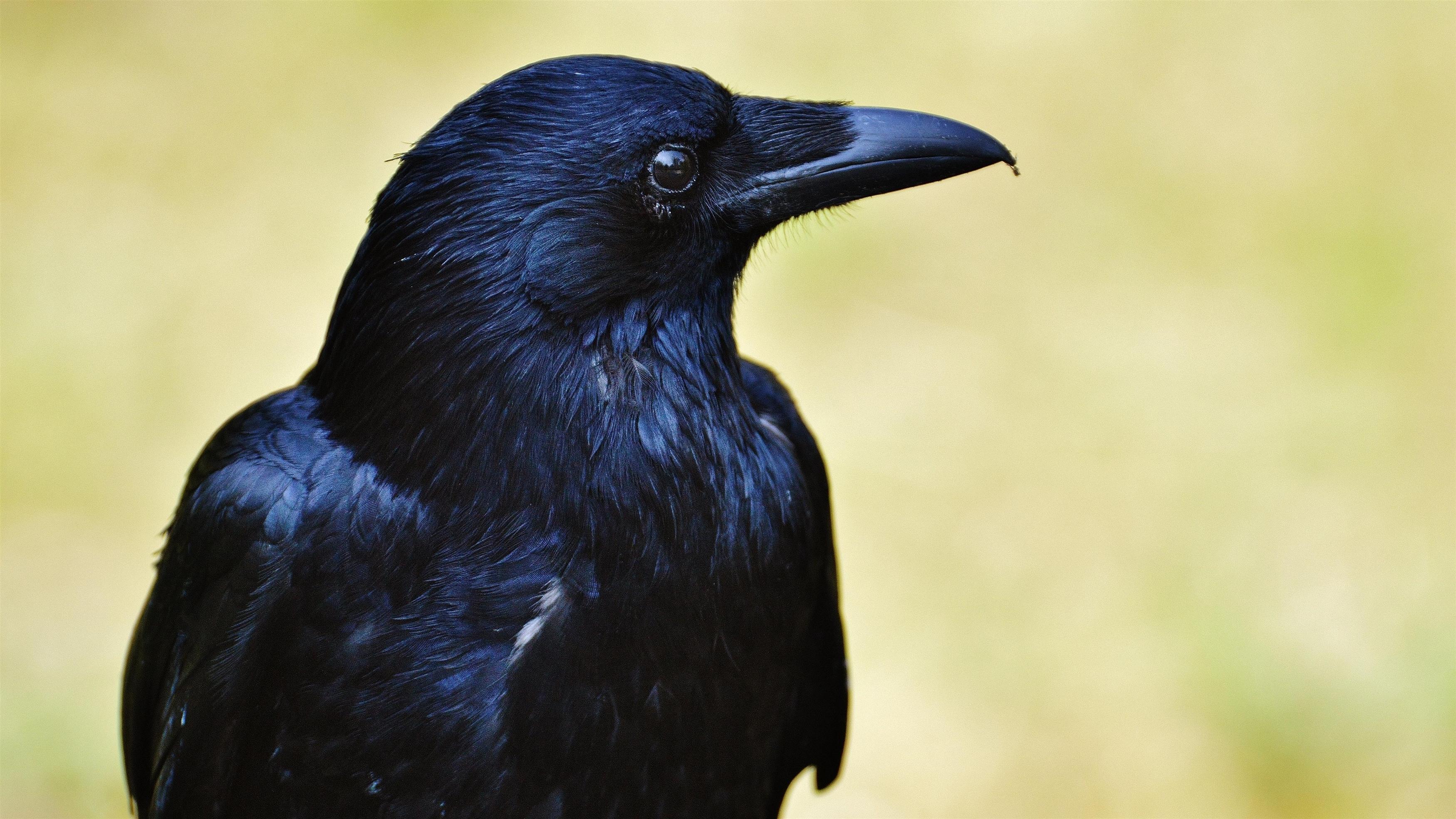 Ворона-животное обои скачать