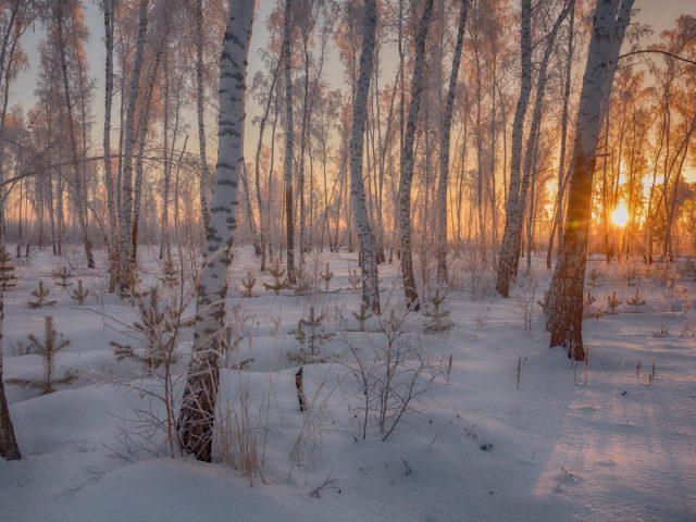 Заснеженный ствол в лесу во время заката зимы