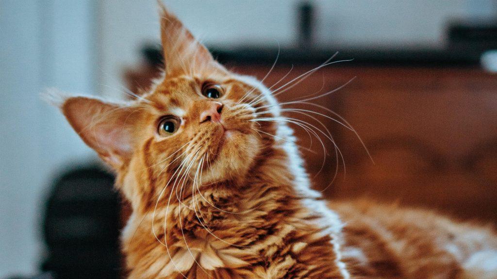 Коричневая кошка смотрит вверх с мелкой фоновой кошкой обои скачать