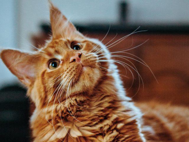Коричневая кошка смотрит вверх с мелкой фоновой кошкой
