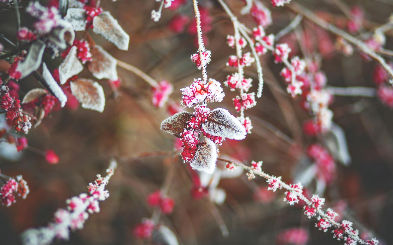 Снег листья вишни. обои скачать