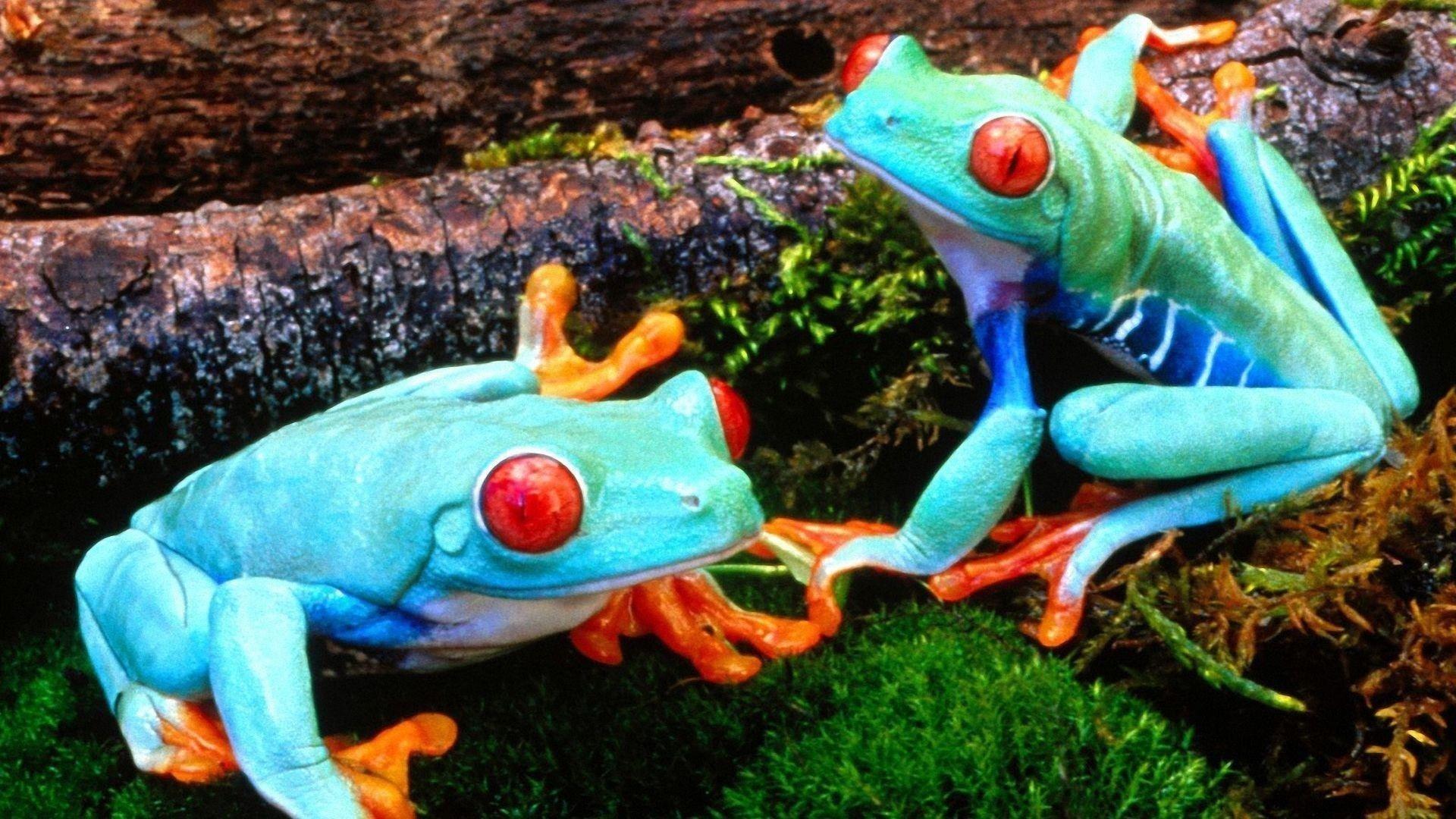Две лягушки обои скачать